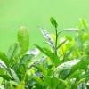 20% ~ 30% Green Tea L-Theanine/3081-61-6
