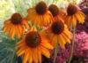 Echinacea Purpurea Herb Extract with 4% Polyphenols,Cichoric acid