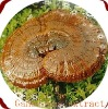 Ganoderma extract-Ganoderma Polysaccharide