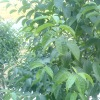 Herbal Extract Powder Chlorogenic Acid 25%