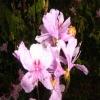 Pilulae olei rhododendri daurici oil