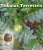 Tribulus Terrestris P.E. with 20%-90% Saponins