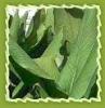 Turmeric oil pure