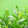 green tea extract L-Theanine 20% 30%