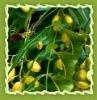 neem tree oil